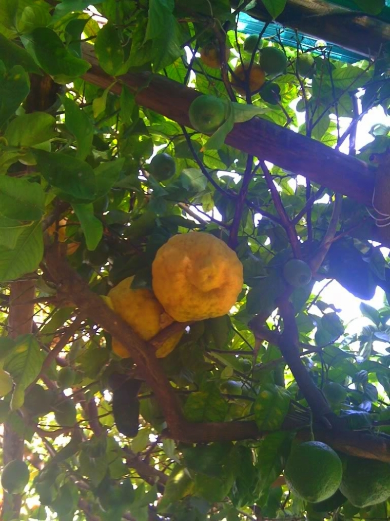 """The famous Sorrento lemons, freshly squeezed to make """"granitas"""" (frozen lemonade) in the summer or the dessert liquor limoncello"""