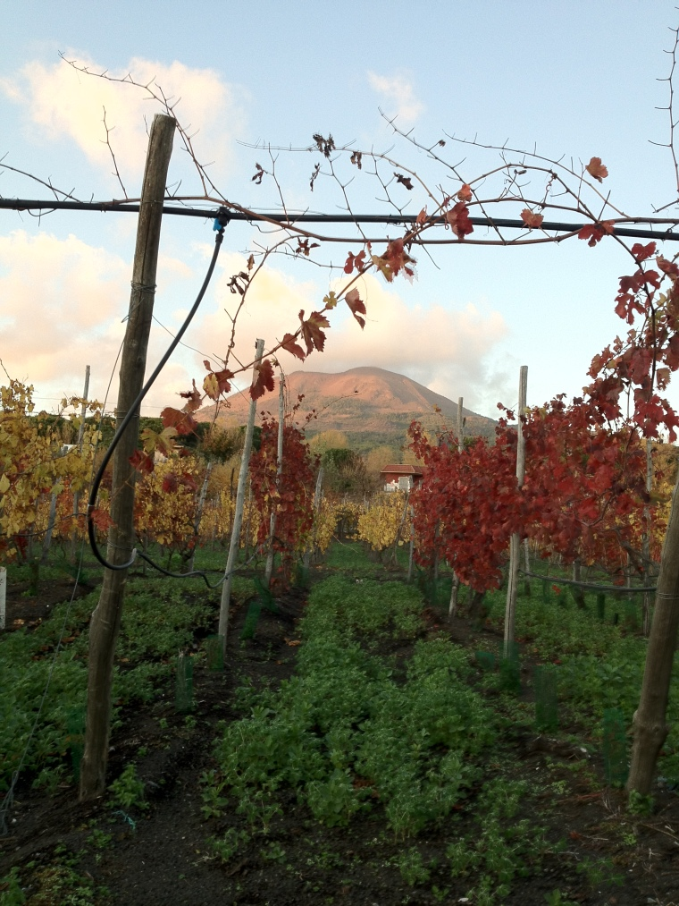 Ancient Caprettone vines facing the now dormant volcano.