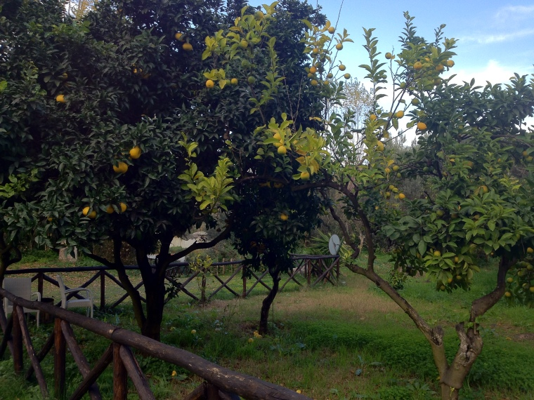 Lemon trees at Villa Eubea used for the restaurant's consumption.